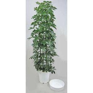 観葉植物 ホンコンカポック (シェフレラ) 10号 受皿付
