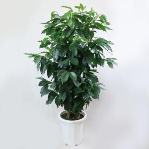 観葉植物 コーヒーの木 10号