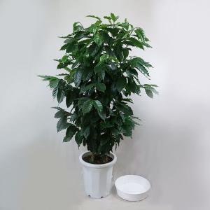 観葉植物 コーヒーの木 10号(受皿付)