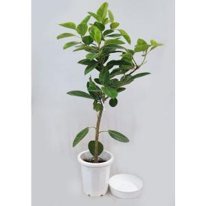 観葉植物 ゴムノキ アルテシマゴム朴 10号 D  受皿付 現品1鉢 開店祝い 引越祝い