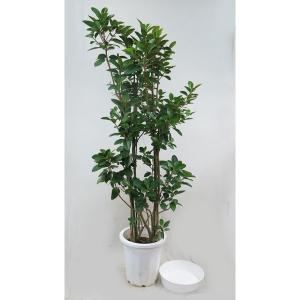 観葉植物 フランスゴムノキ 10号 受皿付
