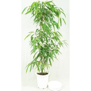 観葉植物 ゴムノキ (ショウナンゴム) 10号 受皿付