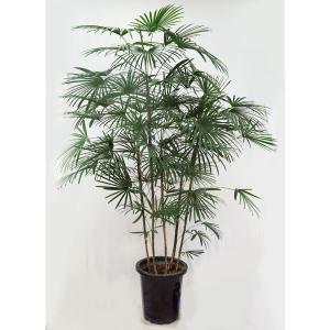 観葉植物  ウンナンシュロチク  雲南棕櫚竹  雲南シュロチク 10号A(大型商品)|potos