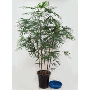 観葉植物  ウンナンシュロチク  雲南棕櫚竹  雲南シュロチク 10号鉢A 受皿付(大型商品)|potos