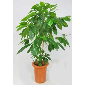 観葉植物 コーヒーの木 7号