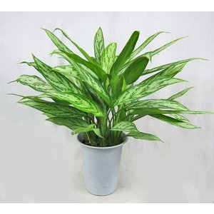 観葉植物 アグラオネマ (シルバークイーン) 6号鉢 耐陰性あり|potos