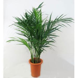 観葉植物  アレカヤシ 7号鉢|potos