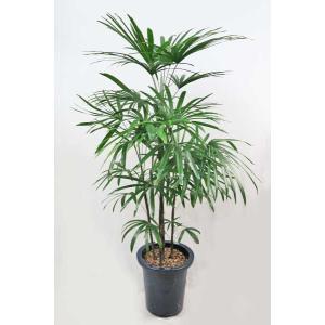 観葉植物 シュロチク 棕櫚竹 しゅろちく 8号鉢|potos