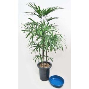観葉植物 シュロチク 棕櫚竹 8号鉢 受皿付|potos