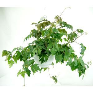 観葉植物 エレンダニカ 6号 吊鉢|potos