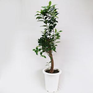 観葉植物 ガジュマル 多幸の木 精霊が宿る樹 8号鉢(外径24cm)鉢。高さ約105cm。 ・クワ科...