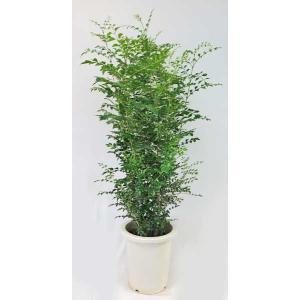 観葉植物 シマトネリコ 8号 シンボルツリー 庭木 常緑樹