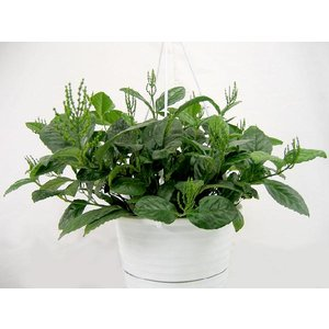 観葉植物 チャラン (茶蘭) 6号吊鉢|potos
