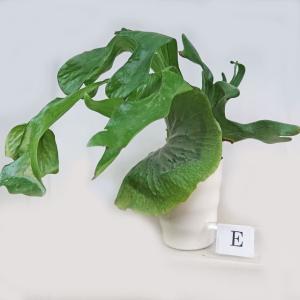 観葉植物 ビカクシダ グランデ コウモリラン 5号鉢E 森の王冠 シダ植物 現品1鉢 稀少品|potos