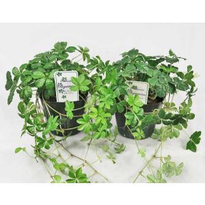 観葉植物 シュガーバイン 2株セット 人気のつる性植物