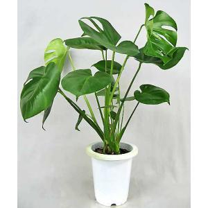 観葉植物 モンステラ アダンソニー 6号鉢|potos