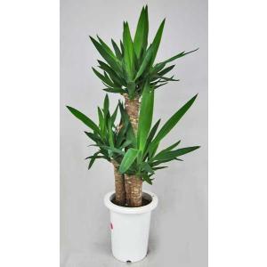 観葉植物 ユッカ・エレファンティペス 7号鉢 青年の木|potos