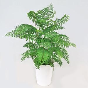 観葉植物 ジャカランダ(ジャカランタ)6号鉢|potos