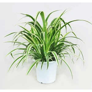観葉植物 オリヅルラン 5号鉢 折り鶴ラン 鉢植え|potos
