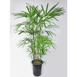 観葉植物 雲南棕櫚竹 ウンナンシュロチク 8号鉢 雲南シュロチク(大型商品)|potos