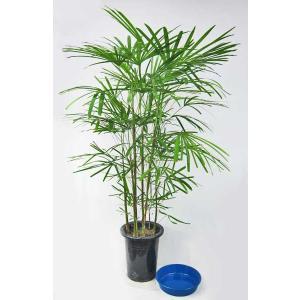 観葉植物 雲南棕櫚竹 ウンナンシュロチク 雲南シュロチク 8号鉢 受皿付(大型商品)|potos