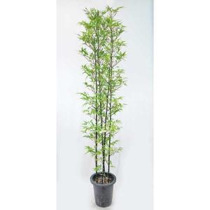 タケ 竹 (黒竹・クロチク・くろちく) 8号 高さ約150cm 庭木