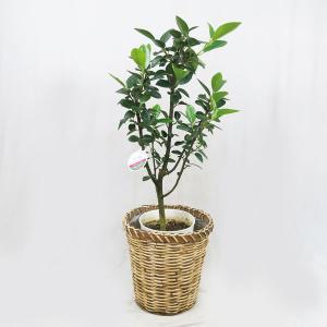 観葉植物  フランスゴムノキ 6号 藤かご皿付K 在庫1鉢