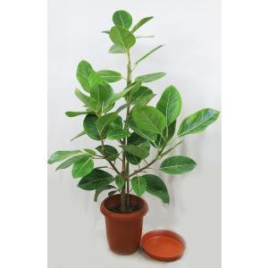 観葉植物 ゴムノキ (アルテシマゴム) 8号   B   現品1鉢  受皿付