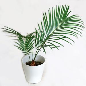 観葉植物 ソテツ (蘇鉄)そてつ 4号鉢  常緑樹 苗木 庭木 |potos