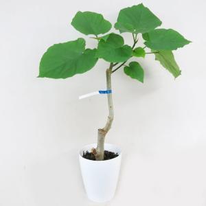 観葉植物 ウンベラータ 6号鉢 朴物 フィカスウンベラータ