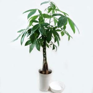 観葉植物 パキラ 6号鉢 受皿付|potos