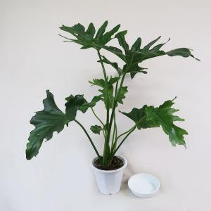 観葉植物 フィロデンドロン・セローム 4.5号鉢 受皿付|potos