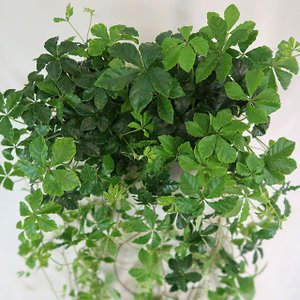 観葉植物 シュガーバイン 3.5号ポット(大)2株セット 人気のつる性植物|potos