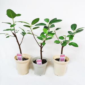 観葉植物 フランスゴムノキ フィカスルビギノーサ 4号鉢|potos