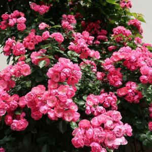 ツルバラ つるバラ バラCL(アンジェラ・Angela) 鉢花 バラ苗 6号鉢。 ・高さ約60cm。...