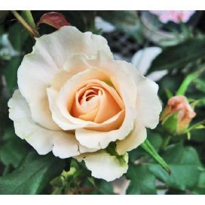 バラFL (フレンチレース) 四季咲き中輪房咲き アイボリーホワイト 6号鉢 2年生 大苗 在庫1鉢