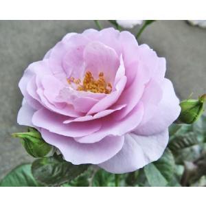 バラFL (ブルーバユー) 四季咲き中輪房咲き 藤色 6号鉢  2年生大苗 在庫1鉢