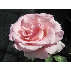 バラ FL ブライダルピンク  7号鉢 3年生大苗 中輪房咲き 四季咲き ピンク 在庫1鉢