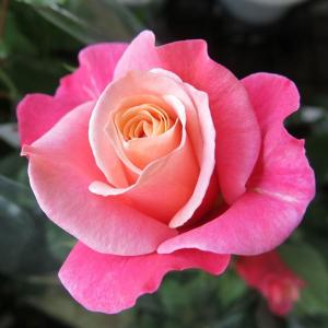 バラ FL  (プリンセスチチブ) 7号鉢 3年生大苗 中輪房咲き 四季咲き ピンク系 丈夫