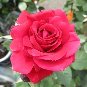 バラ FL  (ガルテンツァーバ'84) 7号鉢 3年生大苗 中輪房咲き 四季咲き 赤系 丈夫で多花性