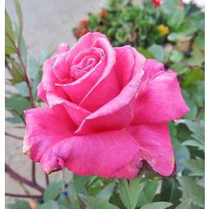バラ(芳純)四季咲き大輪 強香 ピンク 香りのバラ 苗木 鉢花 6号鉢(直径18cm)。高さ約70c...