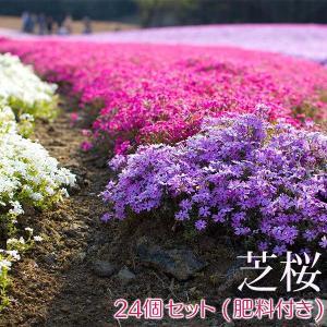 芝桜 ( 色混合 ) 24個セット 9cmポット苗 肥料800gプレゼント|produce87