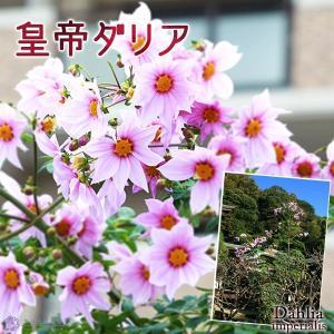 皇帝ダリア ( 宿根性木立ダリア ) 一重咲 10.5cmポット苗|produce87