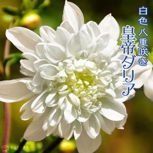 八重咲 皇帝ダリア 白花 ( 宿根性木立ダリア ) 10.5cmポット苗|produce87