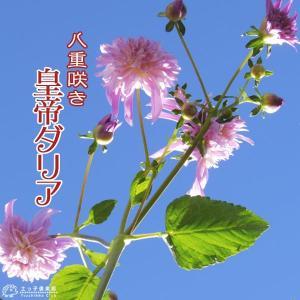八重咲 皇帝ダリア ( 宿根性木立ダリア ) 10.5cmポット苗|produce87