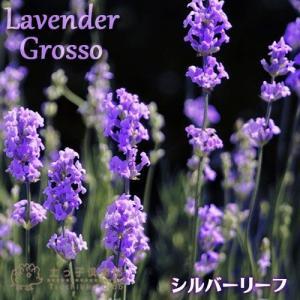 ラベンダー 『 グロッソ 』 9cmポット苗 2個組 (シルバーリーフ)|produce87