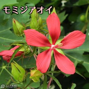 モミジアオイ (紅葉葵) 15cmポット苗|produce87