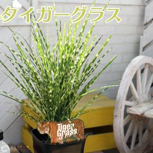 タイガーグラス ( ゴールドバー ) 5号鉢植え|produce87