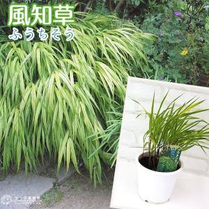 風知草 ( フウチソウ ) 斑入り葉 4.5号鉢植え|produce87