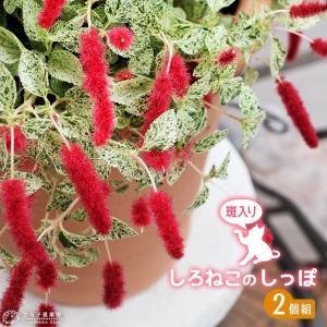 キャットテール ( 白猫のしっぽ )斑入り葉 9cmポット苗 2個組|produce87